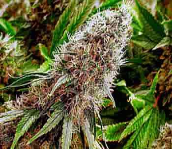گل ماریجوانا