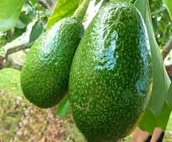 گیاهان مقاوم به گرما و درخت زیتون بندری گواوا