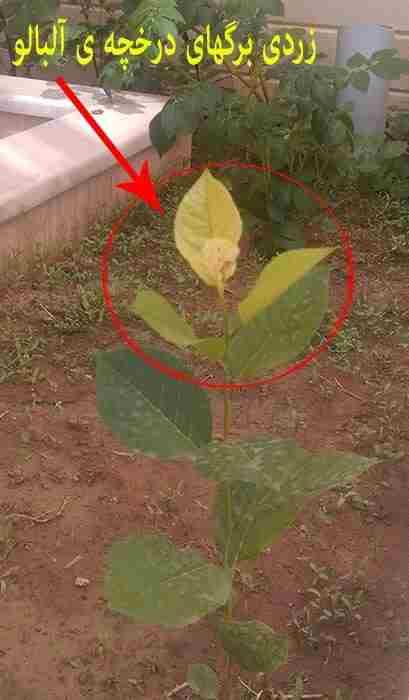 کمبود آهن در گیاه