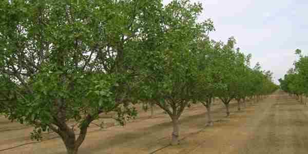 استفاده کود برای درخت پسته