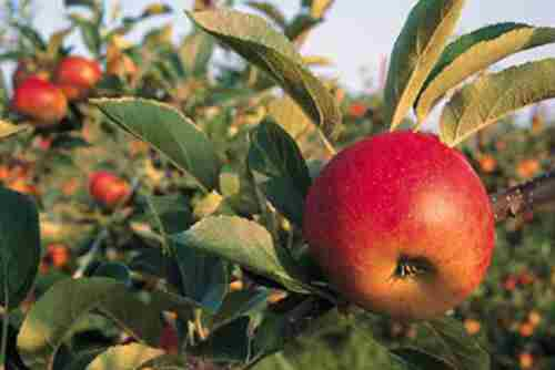 کود مخصوص درختان سیب