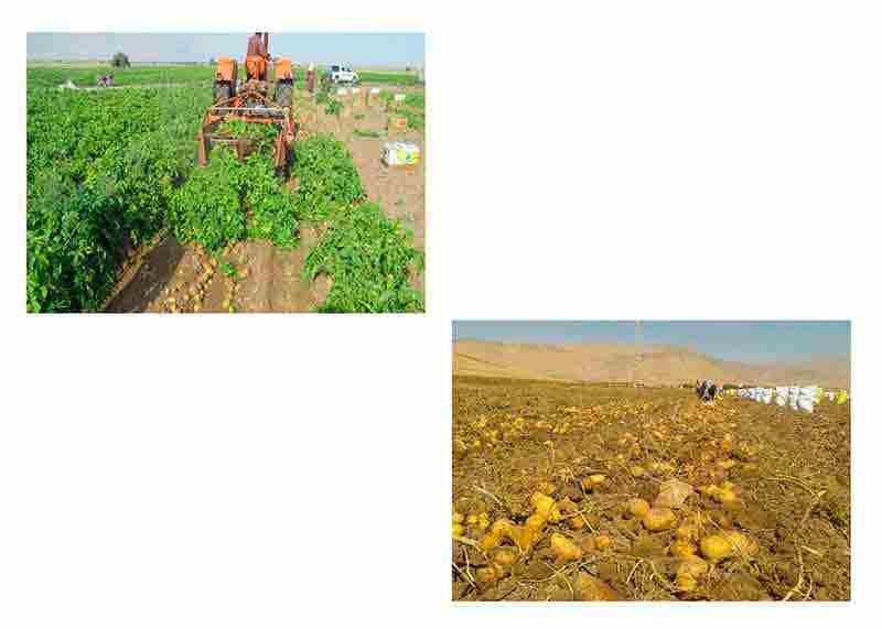 نگرانی از کمبود سیب زمینی بی مورد است