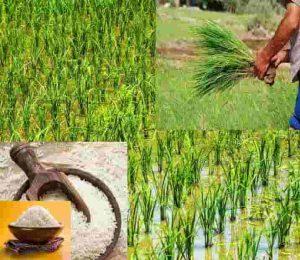 شرایط کشت برنج در استان فارس