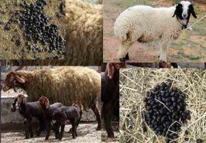 تاثیر کود گوسفندی بر درختان و گیاهان فروش کود گوسفندی خرید کود گوسفندی