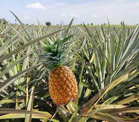تولید آناناس در چابهار آب و هوا شرایط کشت