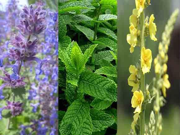 گیاهان دارویی کاشان گیاه نوش گیاهنوش گیاه دارویی