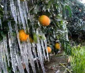 سرمازدگی گیاهان سرما زدگی درختان