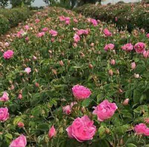 عکسی از مزرعه گل محمدی