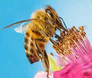 آسیب آفت کش ها و سم ها بر زنبور عسل