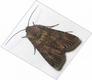 تغییر ژنتیک حشرات برای کنترل آفات