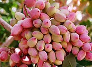 تاثیر کود سولفات آمونیوم در درخت پسته