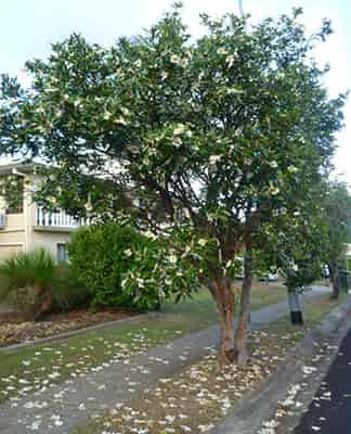 درخت تخم مرغ نیمرو و پرورش و رشد FRIED EGG TREE