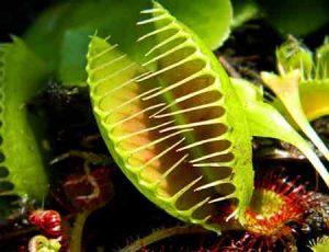 معرفی گیاهان گوشت خوار