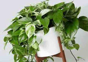 گیاه آپارتمانی پتوس و نکات کامل نگهداری از آن
