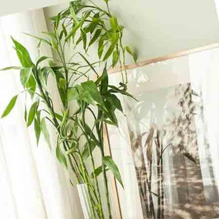 گیاه بامبو و بهترین روش نگهداری آن در منزل
