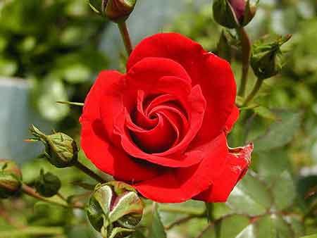 گل رز و نحوه کاشت ، رشد و هرس آن