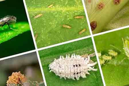 آفات گیاهی، بزرگترین تهدید امنیت غذایی